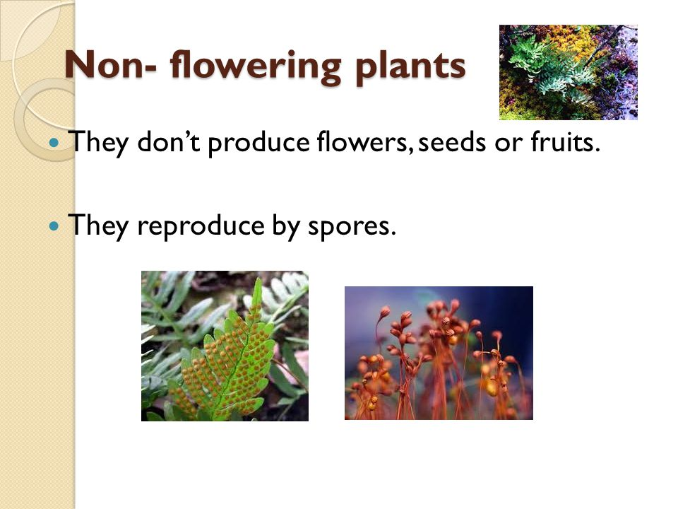 Non- flowering plants They dont produce flowers, seeds or fruits. They reproduce by spores.