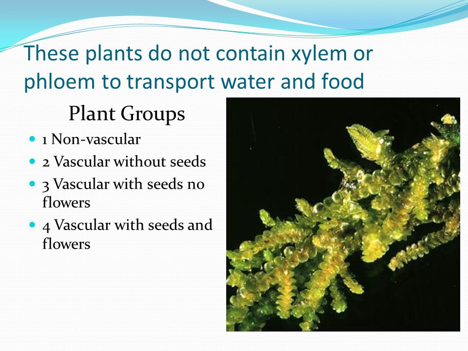 These plants do not contain xylem or phloem to transport water and food Plant Groups 1 Non-vascular 2 Vascular without seeds 3 Vascular with seeds no flowers 4 Vascular with seeds and flowers