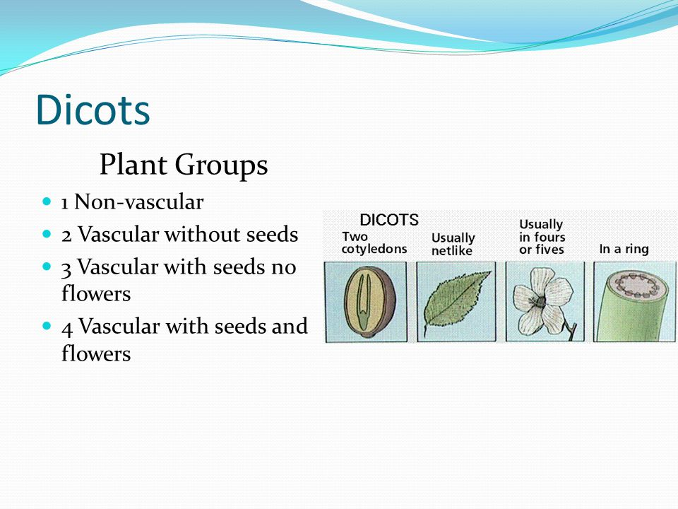 Dicots Plant Groups 1 Non-vascular 2 Vascular without seeds 3 Vascular with seeds no flowers 4 Vascular with seeds and flowers