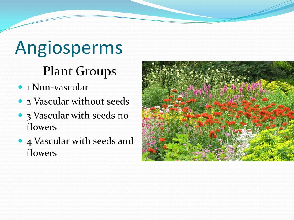 Angiosperms Plant Groups 1 Non-vascular 2 Vascular without seeds 3 Vascular with seeds no flowers 4 Vascular with seeds and flowers
