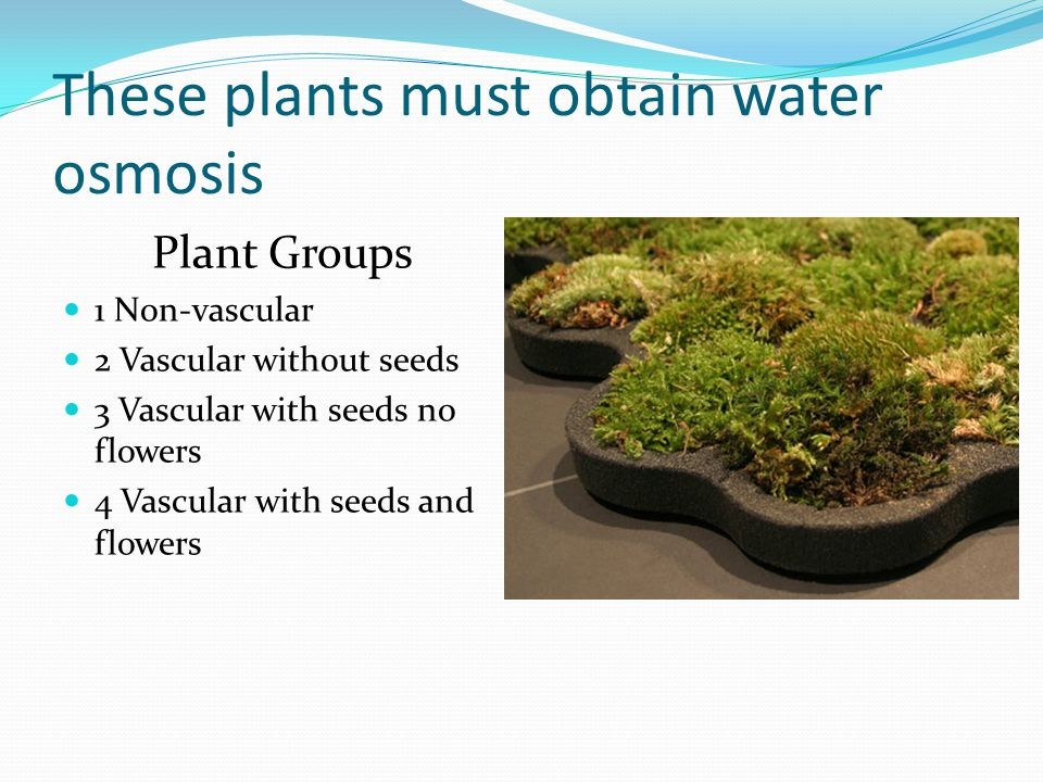 These plants must obtain water osmosis Plant Groups 1 Non-vascular 2 Vascular without seeds 3 Vascular with seeds no flowers 4 Vascular with seeds and