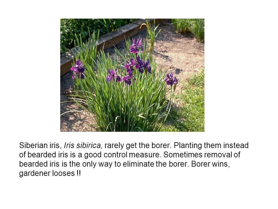 Siberian iris, Iris sibirica, rarely get the borer.