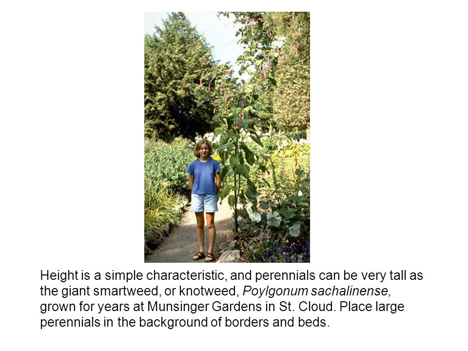 Height is a simple characteristic, and perennials can be very tall as the giant smartweed, or knotweed, Poylgonum sachalinense, grown for years at Munsinger Gardens in St.