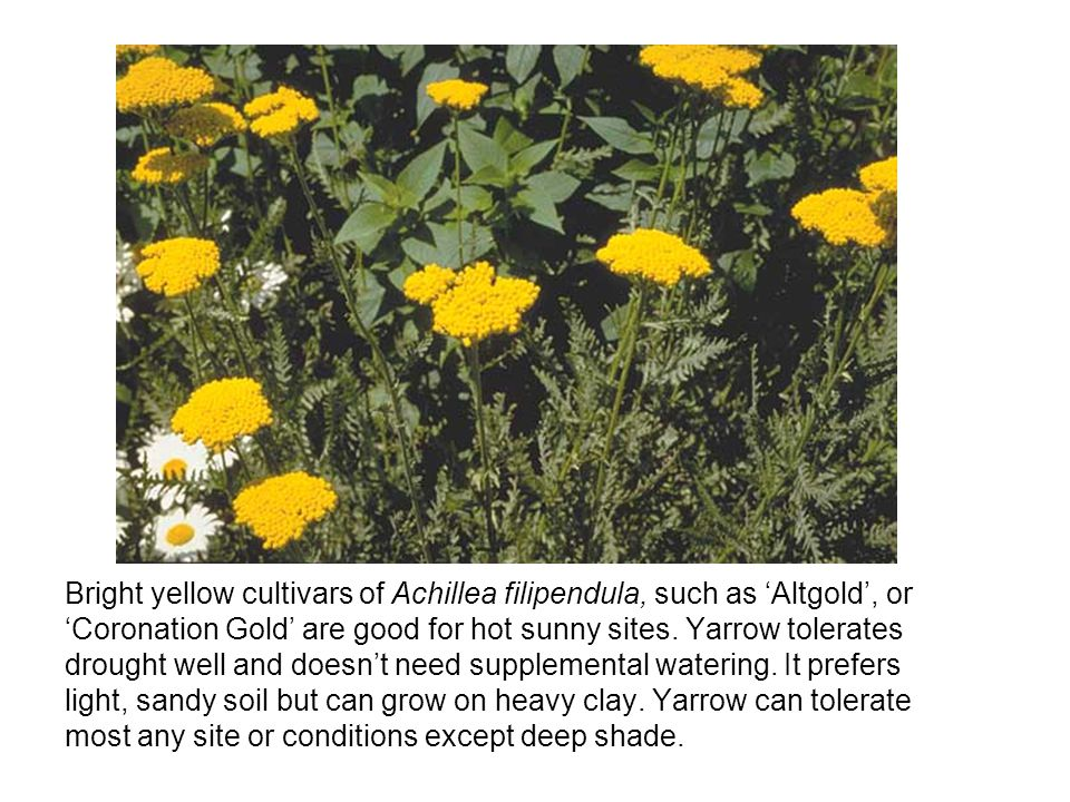 Bright yellow cultivars of Achillea filipendula, such as Altgold, or Coronation Gold are good for hot sunny sites.