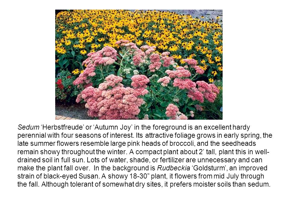 Sedum Herbstfreude or Autumn Joy in the foreground is an excellent hardy perennial with four seasons of interest.