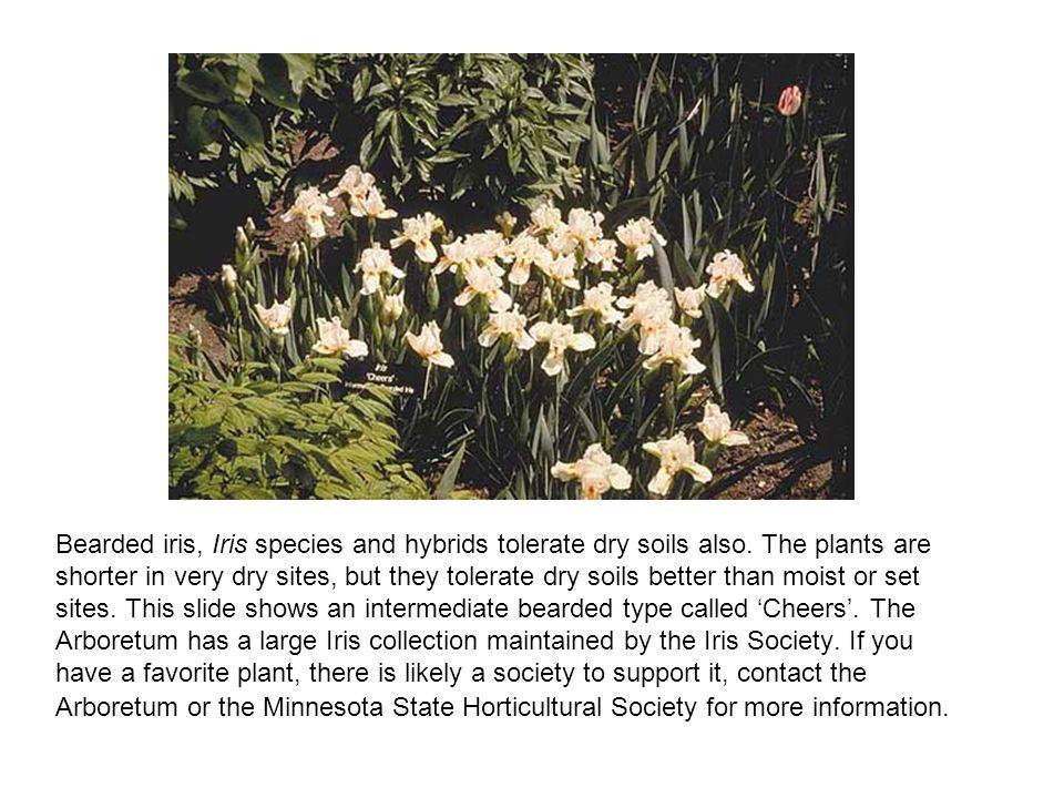 Bearded iris, Iris species and hybrids tolerate dry soils also.