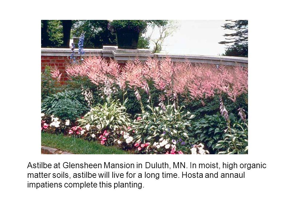 Astilbe at Glensheen Mansion in Duluth, MN.