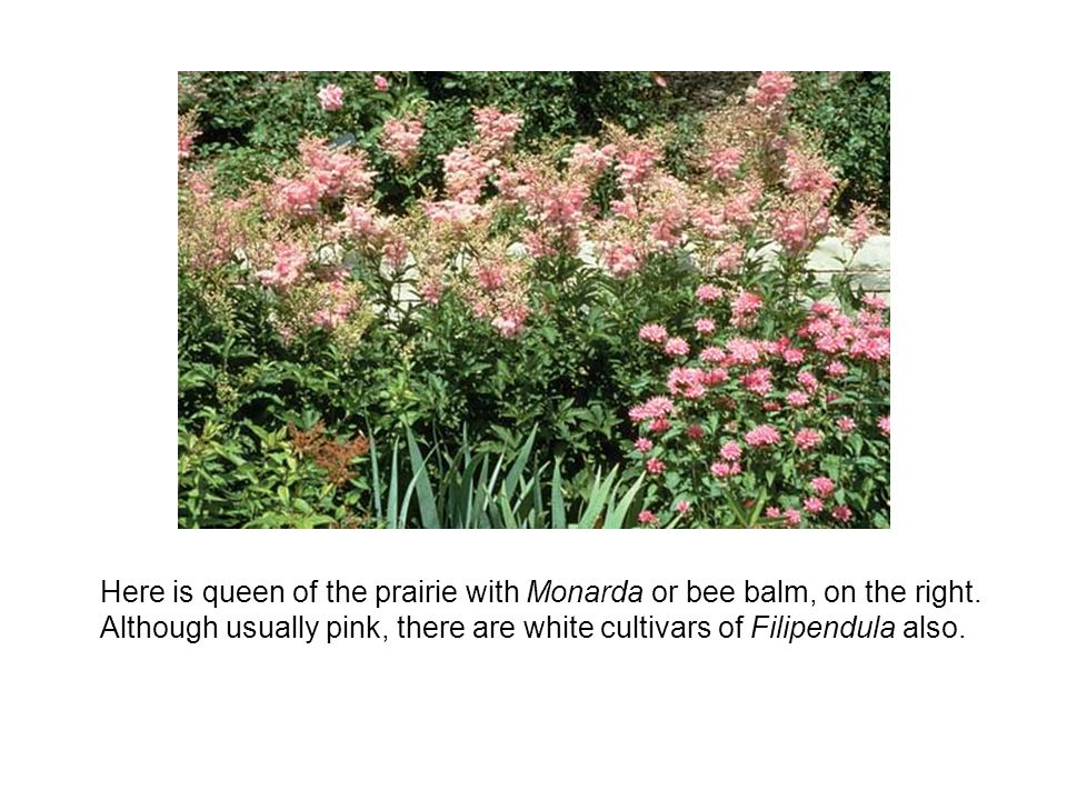 Here is queen of the prairie with Monarda or bee balm, on the right.
