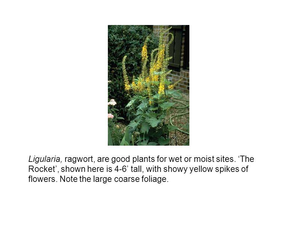 Ligularia, ragwort, are good plants for wet or moist sites.