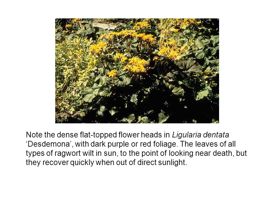 Note the dense flat-topped flower heads in Ligularia dentata Desdemona, with dark purple or red foliage.