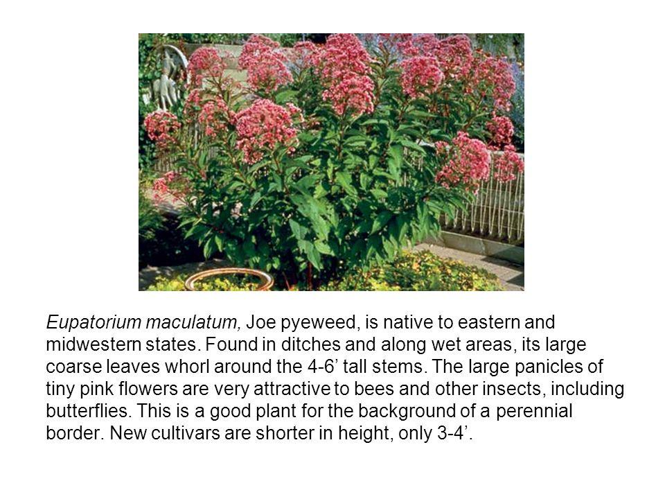Eupatorium maculatum, Joe pyeweed, is native to eastern and midwestern states.