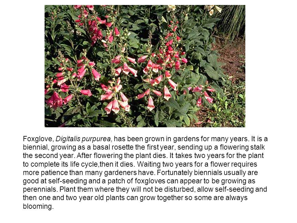 Foxglove, Digitalis purpurea, has been grown in gardens for many years.