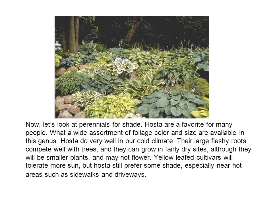 Now, lets look at perennials for shade.Hosta are a favorite for many people.