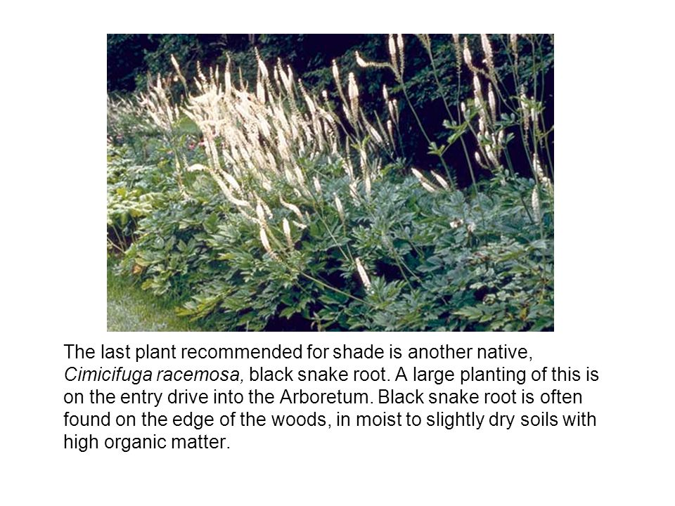 The last plant recommended for shade is another native, Cimicifuga racemosa, black snake root.