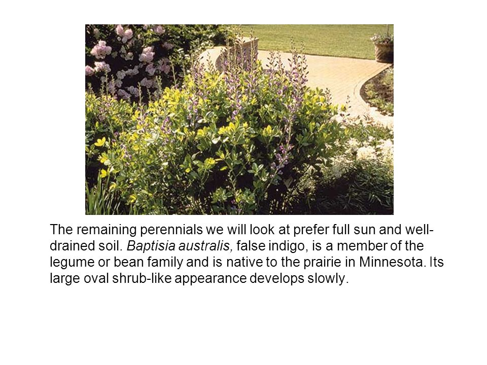 The remaining perennials we will look at prefer full sun and well- drained soil.