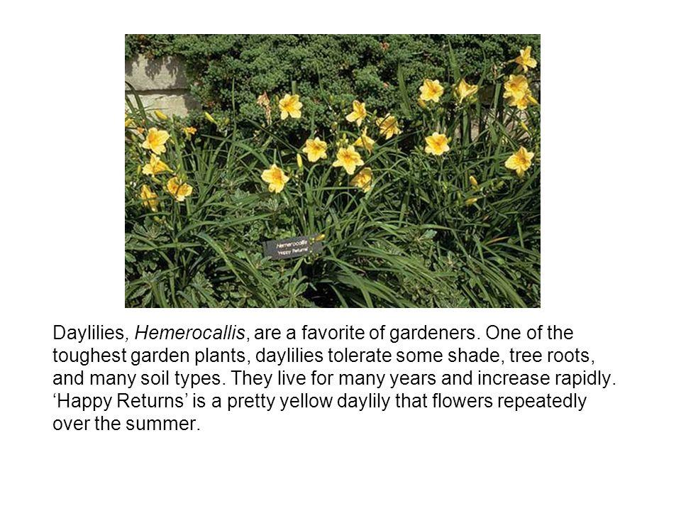 Daylilies, Hemerocallis, are a favorite of gardeners.