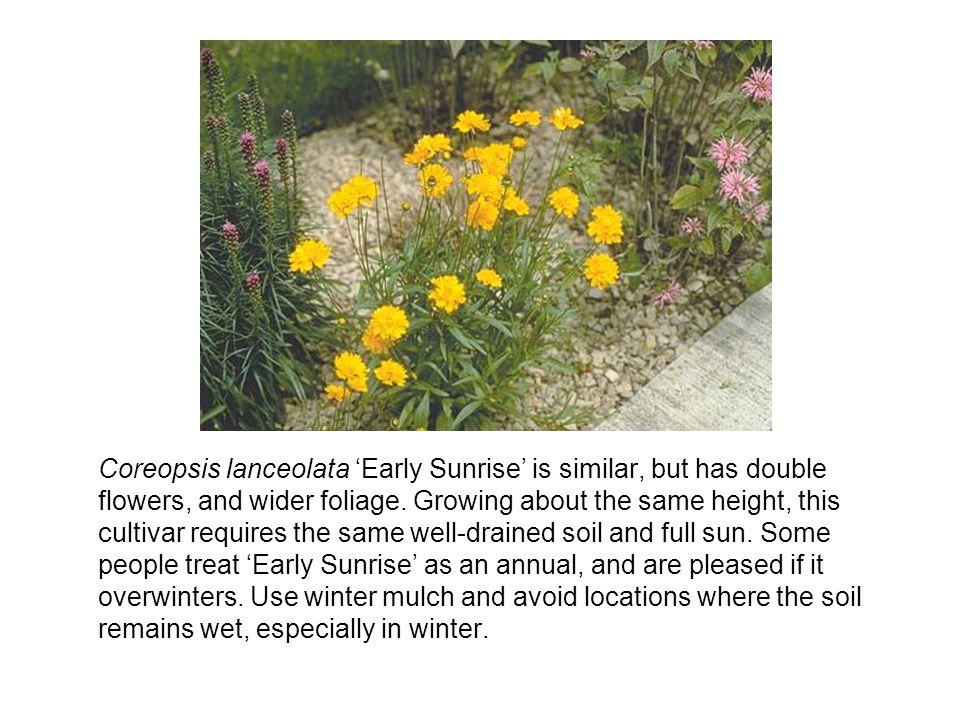 Coreopsis lanceolata Early Sunrise is similar, but has double flowers, and wider foliage.
