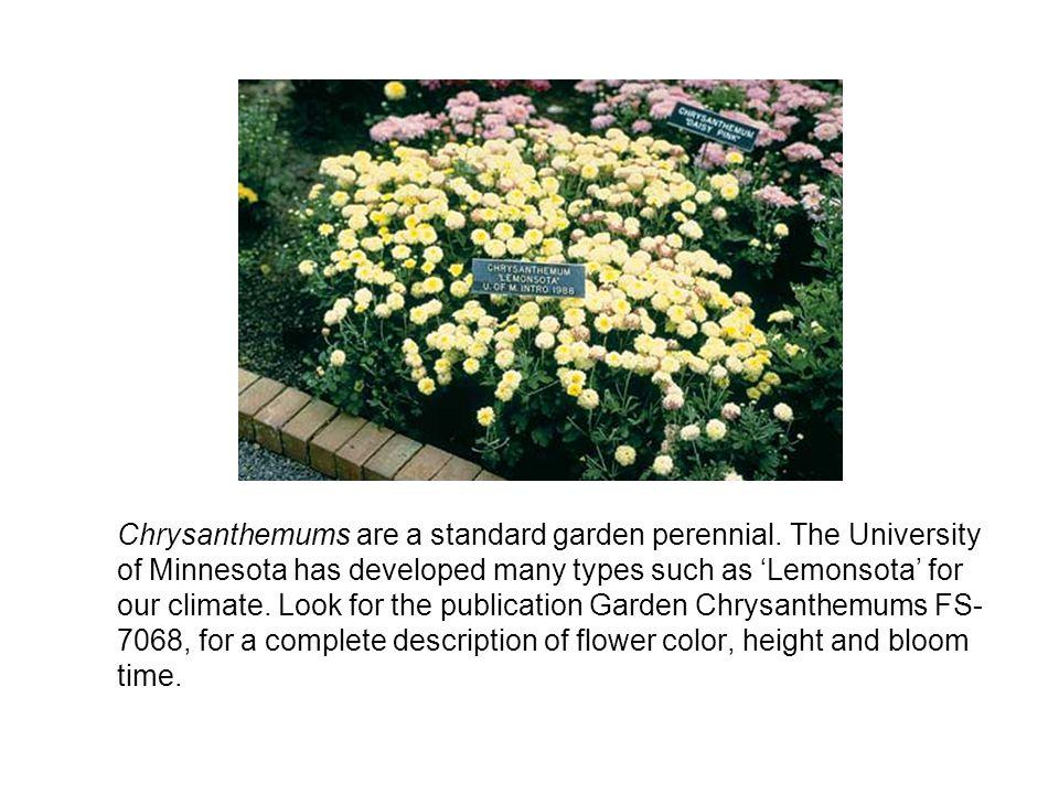 Chrysanthemums are a standard garden perennial.