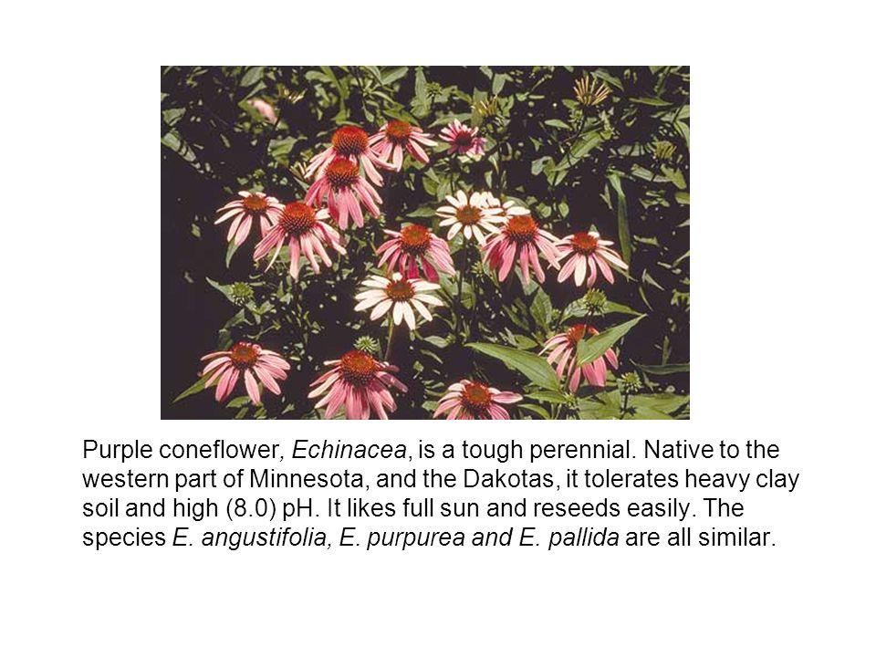 Purple coneflower, Echinacea, is a tough perennial.