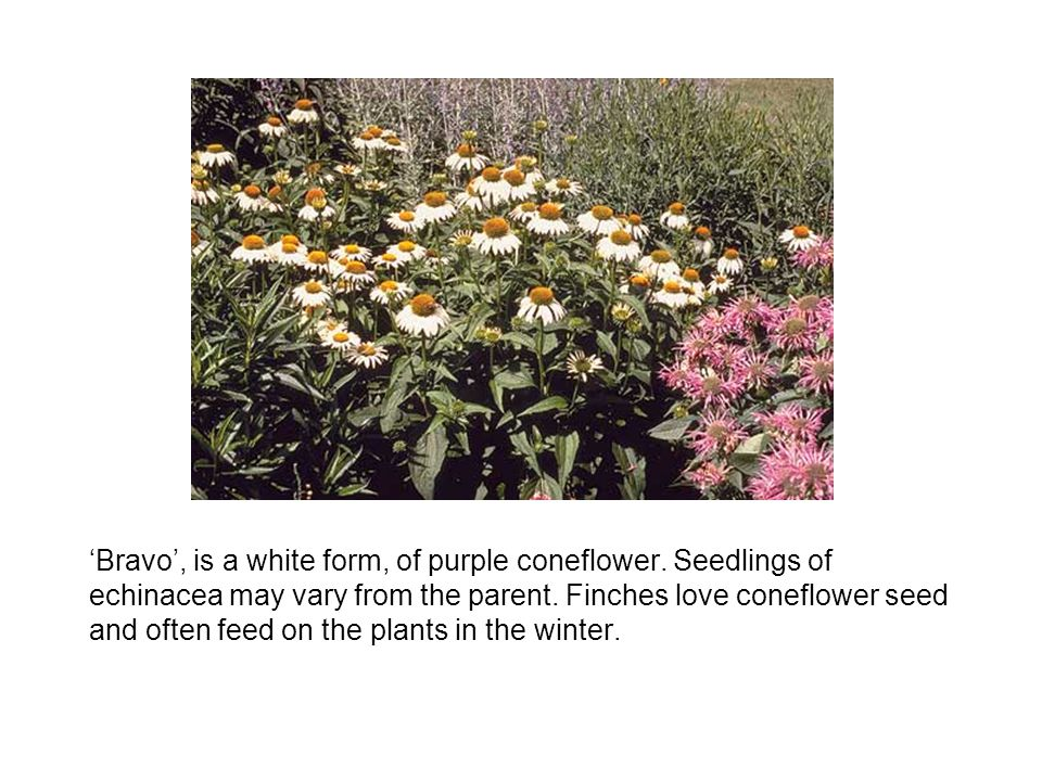 Bravo, is a white form, of purple coneflower.Seedlings of echinacea may vary from the parent.