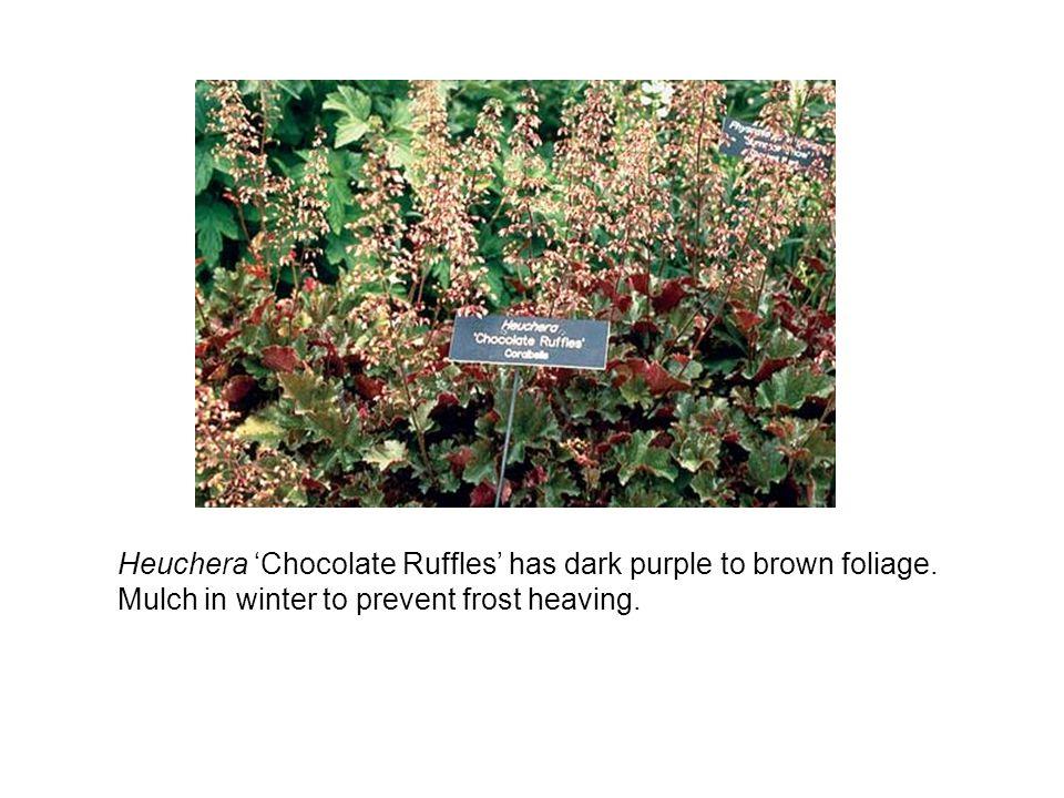 Heuchera Chocolate Ruffles has dark purple to brown foliage.