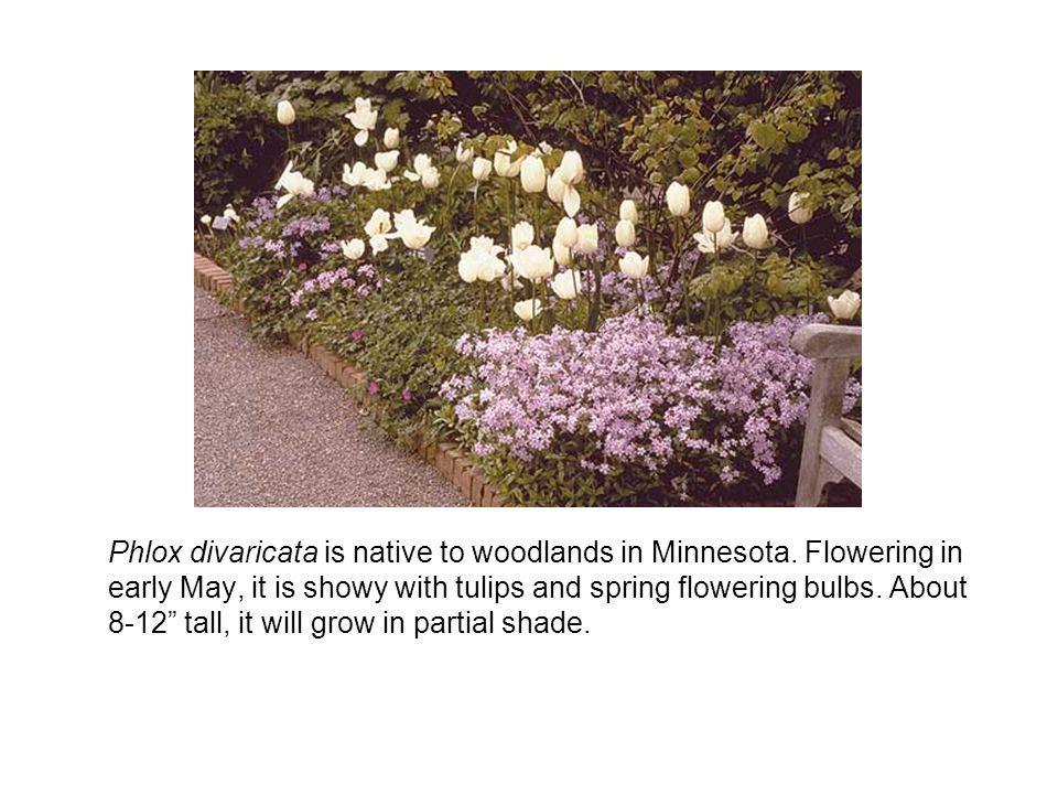 Phlox divaricata is native to woodlands in Minnesota.