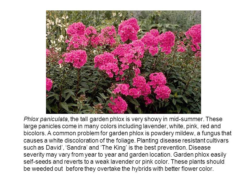 Phlox paniculata, the tall garden phlox is very showy in mid-summer.