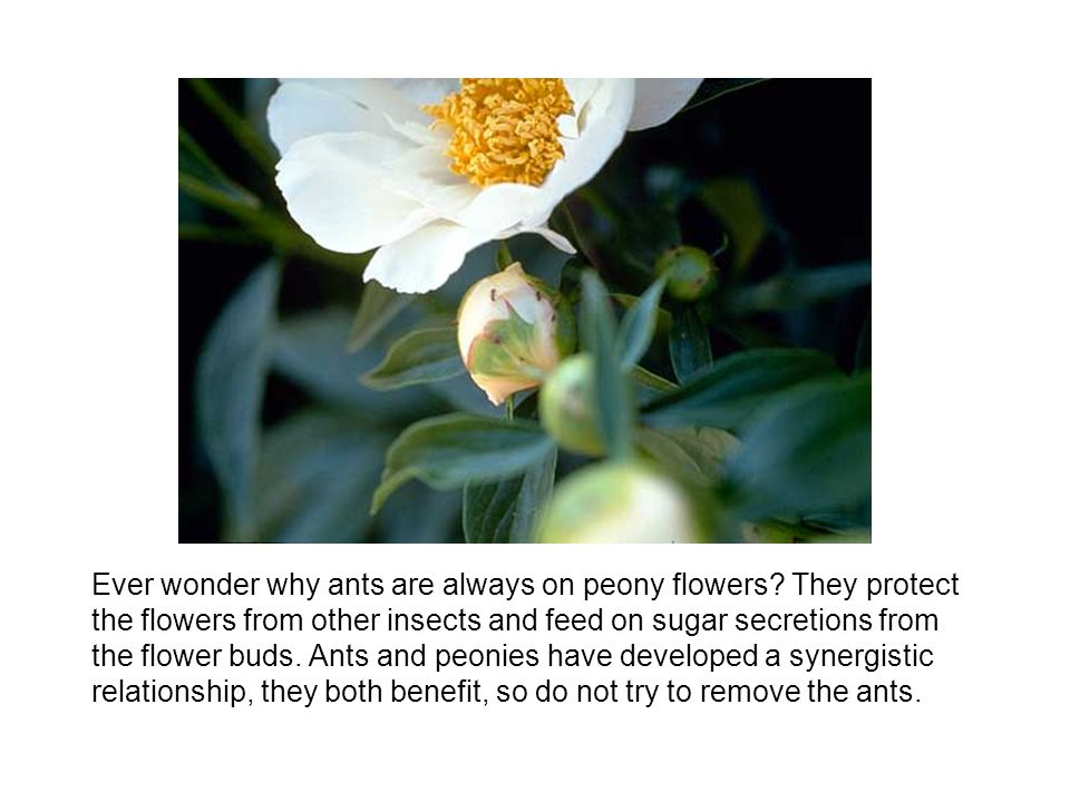 Ever wonder why ants are always on peony flowers.