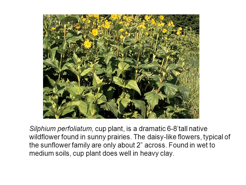 Silphium perfoliatum, cup plant, is a dramatic 6-8tall native wildflower found in sunny prairies.