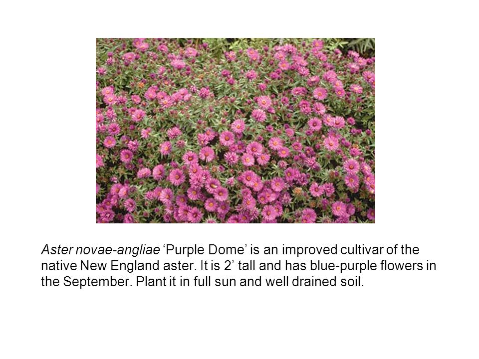 Aster novae-angliae Purple Dome is an improved cultivar of the native New England aster.