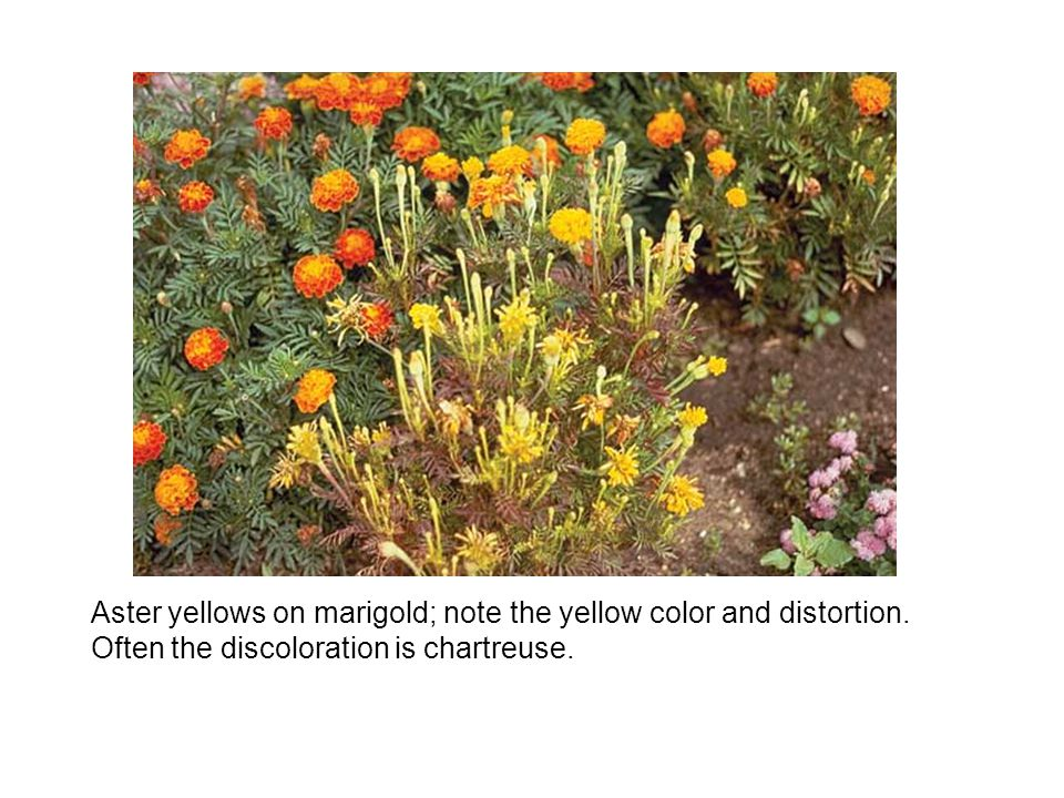 Aster yellows on marigold; note the yellow color and distortion.