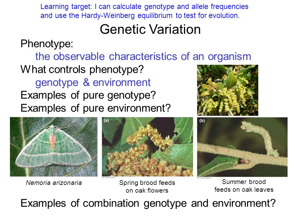 Genetic Variation Phenotype: the observable characteristics of an organism What controls phenotype? genotype & environment Examples of pure genotype?