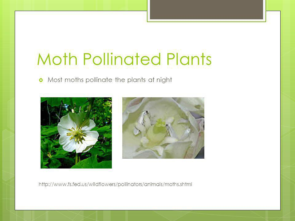 Moth Pollinated Plants Most moths pollinate the plants at night