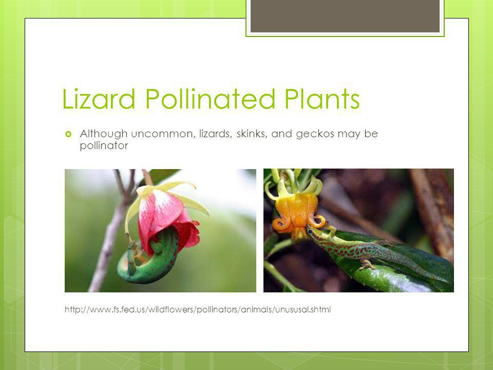 Lizard Pollinated Plants Although uncommon, lizards, skinks, and geckos may be pollinator