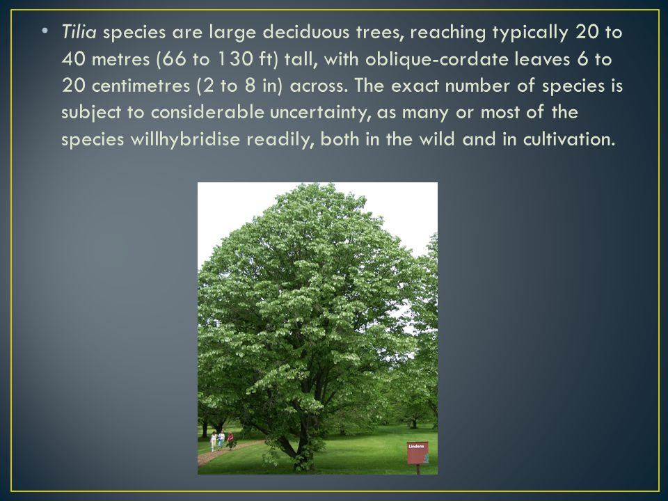 Tilia species are large deciduous trees, reaching typically 20 to 40 metres (66 to 130 ft) tall, with oblique-cordate leaves 6 to 20 centimetres (2 to