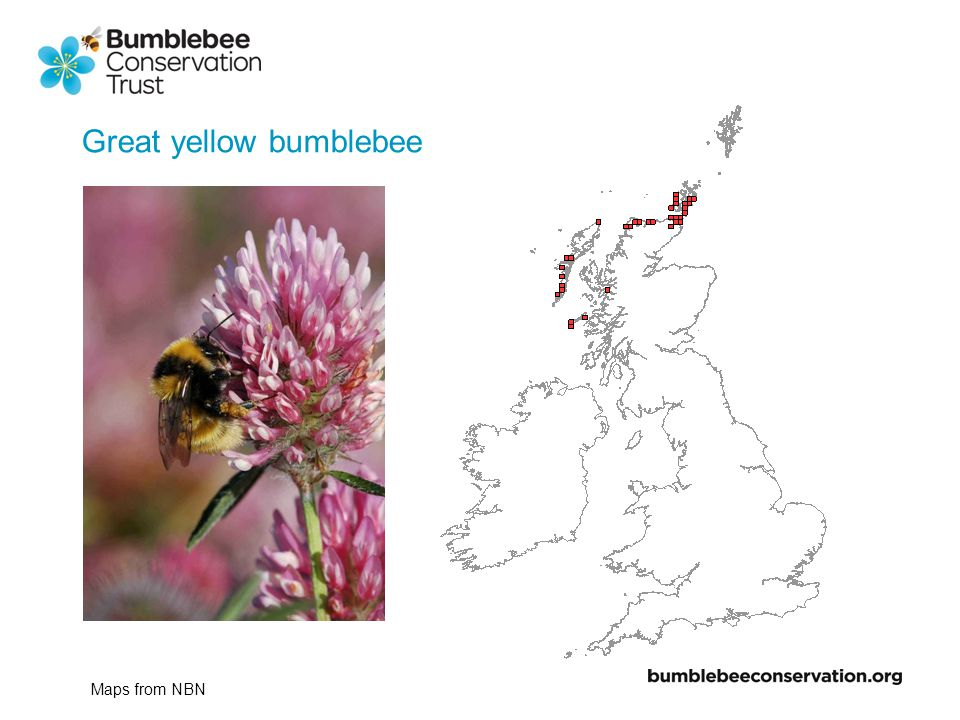 1900-1950 1950-2000 2000-2007 Great yellow bumblebee Maps from NBN