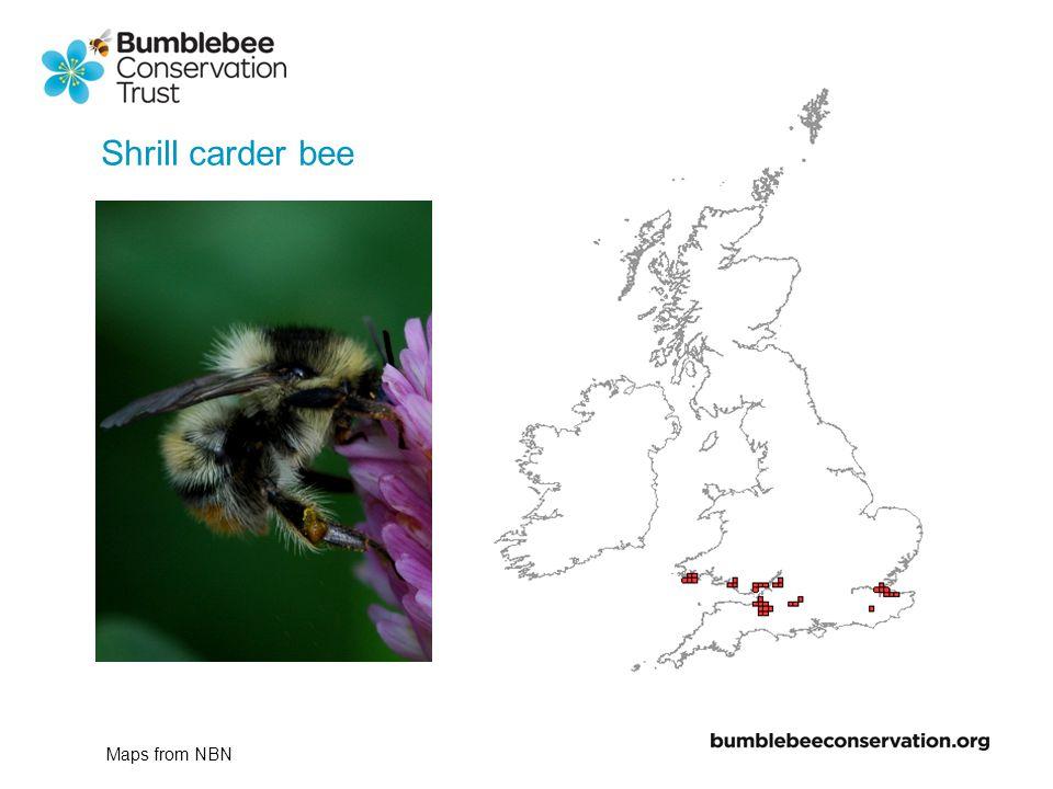 Shrill carder bee 2000-2007 1900-1950 1950-2000