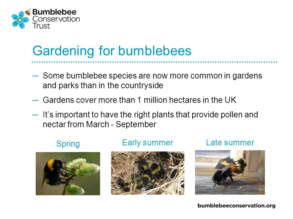 Gardening for bumblebees Some bumblebee species are now more common in gardens and parks than in the countryside Gardens cover more than 1 million hectares in the UK Its important to have the right plants that provide pollen and nectar from March - September Spring Early summerLate summer