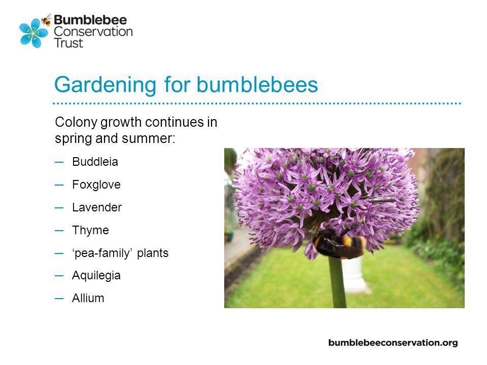 Gardening for bumblebees Colony growth continues in spring and summer: Buddleia Foxglove Lavender Thyme pea-family plants Aquilegia Allium