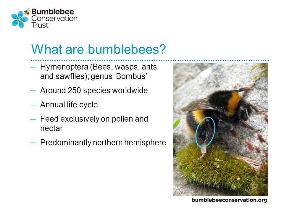 What are bumblebees.