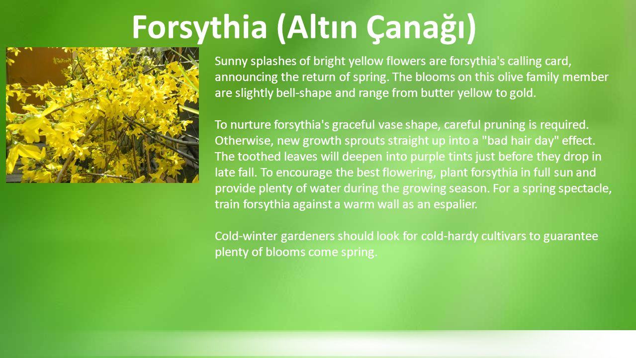 Two species of forsythia are at the heart of the selected forms, for both species are variable, and garden hybrids: Forsythia suspensa and F.