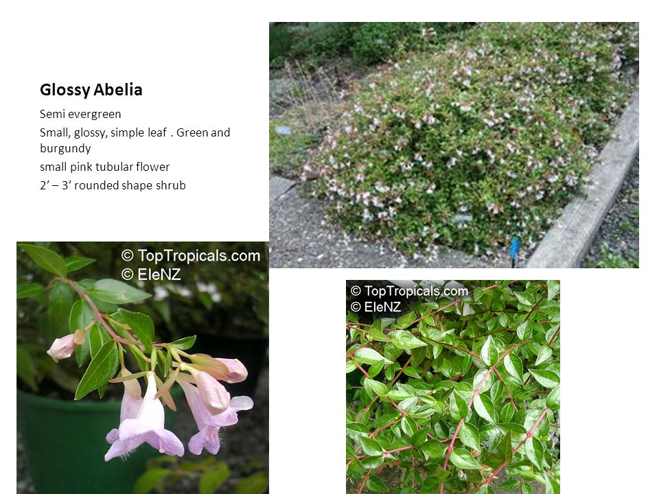 Glossy Abelia Semi evergreen Small, glossy, simple leaf. Green and burgundy small pink tubular flower 2 – 3 rounded shape shrub