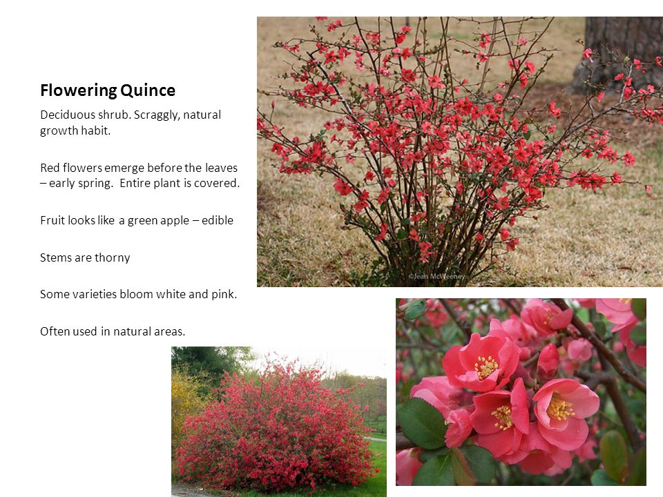 Flowering Quince Deciduous shrub. Scraggly, natural growth habit. Red flowers emerge before the leaves – early spring. Entire plant is covered. Fruit
