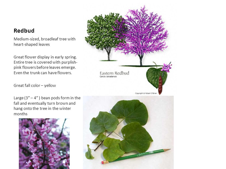 Redbud Medium-sized, broadleaf tree with heart-shaped leaves Great flower display in early spring. Entire tree is covered with purplish- pink flowers