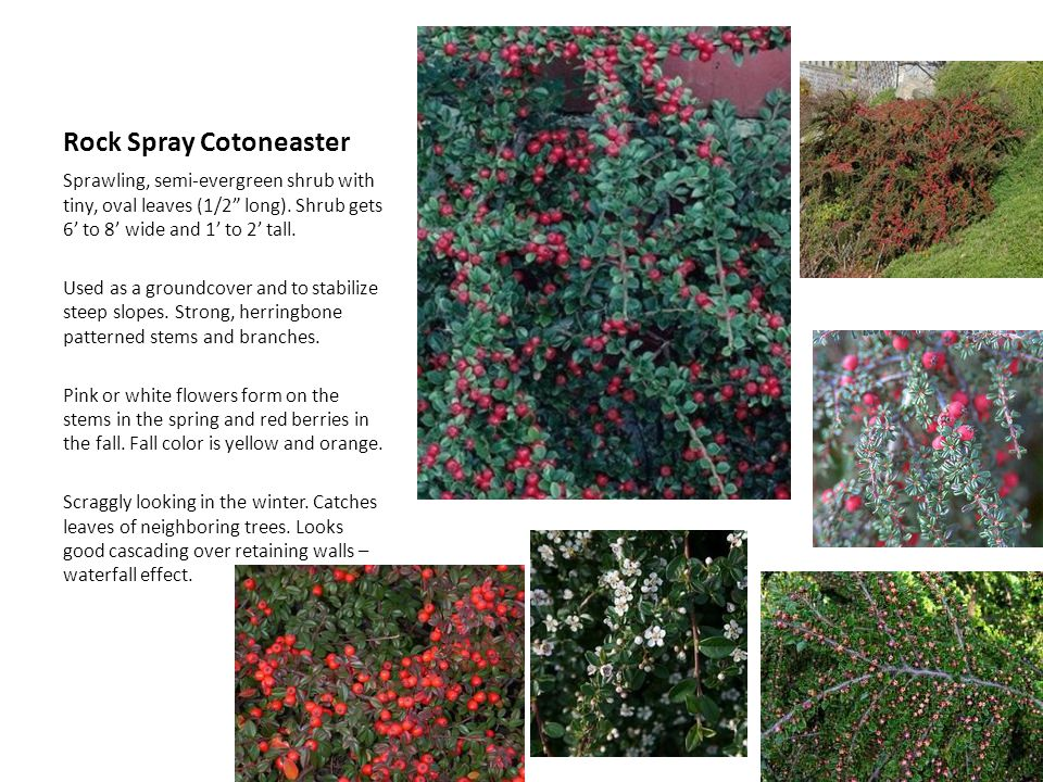 Rock Spray Cotoneaster Sprawling, semi-evergreen shrub with tiny, oval leaves (1/2 long). Shrub gets 6 to 8 wide and 1 to 2 tall. Used as a groundcove