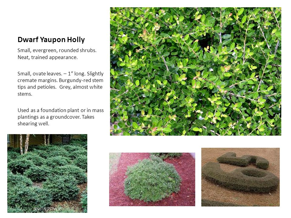 Dwarf Yaupon Holly Small, evergreen, rounded shrubs. Neat, trained appearance. Small, ovate leaves. – 1 long. Slightly cremate margins. Burgundy-red s