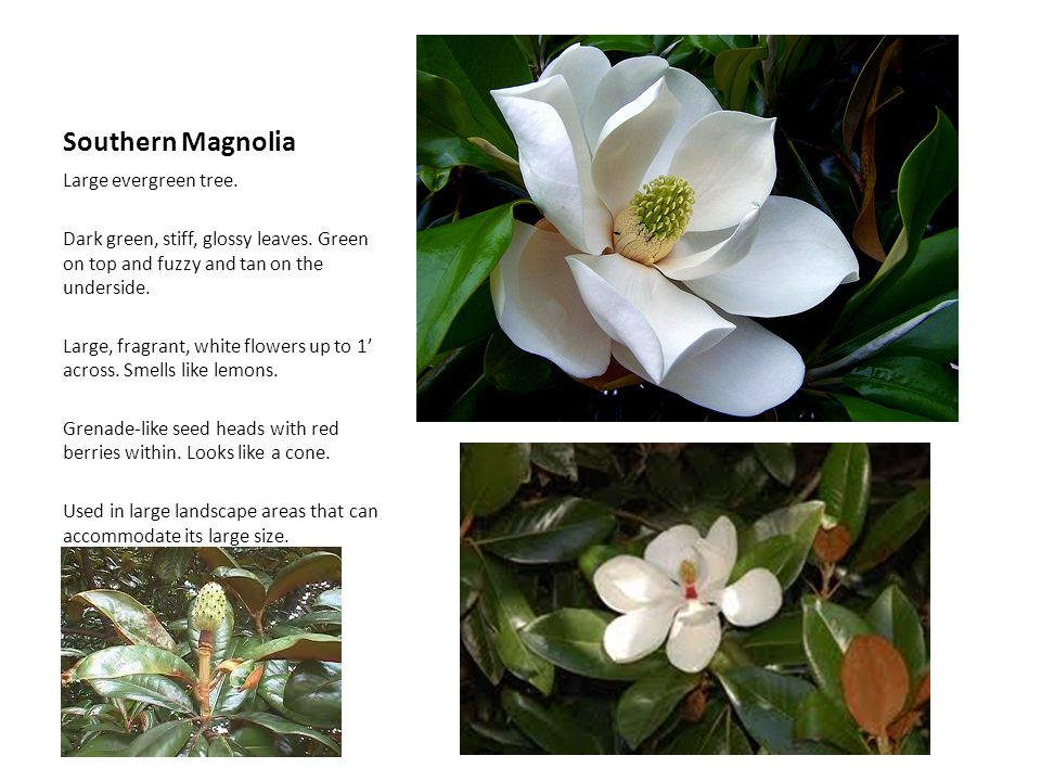 Southern Magnolia Large evergreen tree. Dark green, stiff, glossy leaves. Green on top and fuzzy and tan on the underside. Large, fragrant, white flow