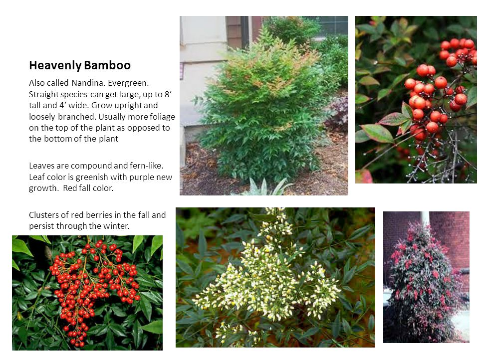 Heavenly Bamboo Also called Nandina. Evergreen. Straight species can get large, up to 8 tall and 4 wide. Grow upright and loosely branched. Usually mo