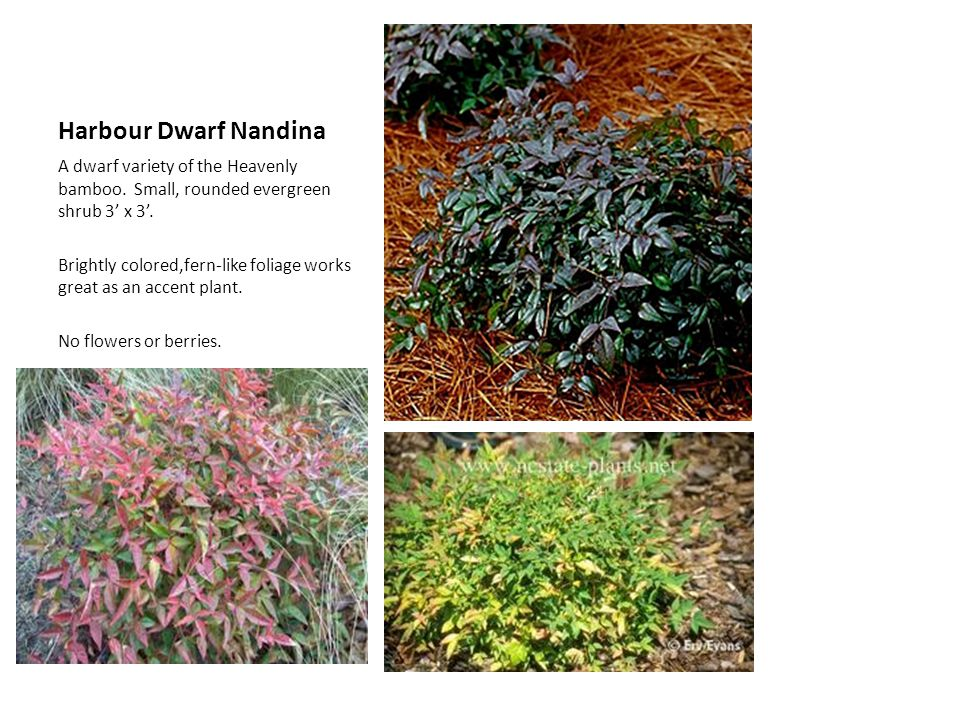 Harbour Dwarf Nandina A dwarf variety of the Heavenly bamboo. Small, rounded evergreen shrub 3 x 3. Brightly colored,fern-like foliage works great as