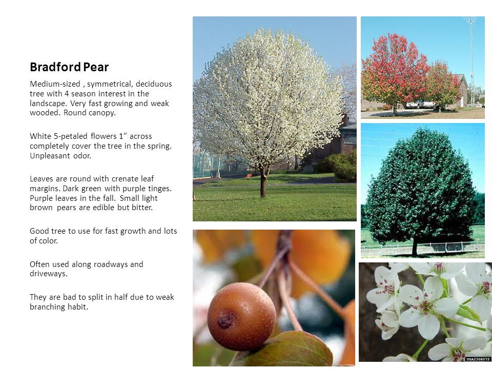 Bradford Pear Medium-sized, symmetrical, deciduous tree with 4 season interest in the landscape. Very fast growing and weak wooded. Round canopy. Whit